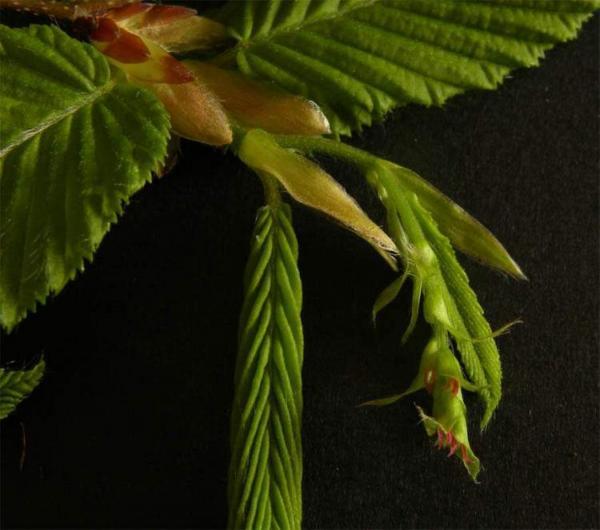 fleurs de charme - hornbeam