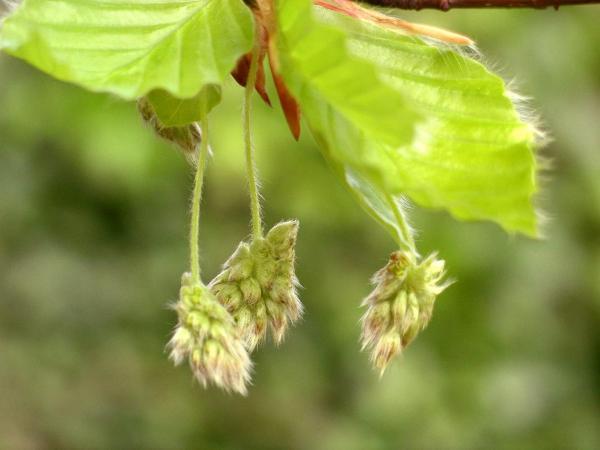 fleurs de hêtre - beech