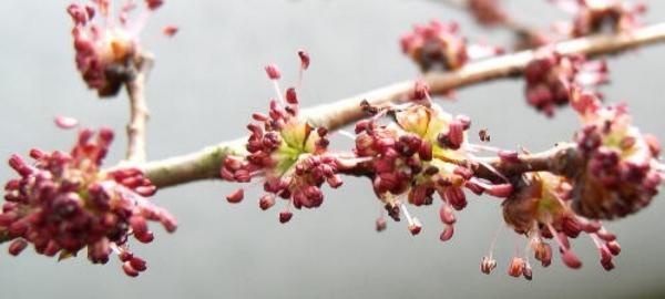 fleurs de l'orme - elm