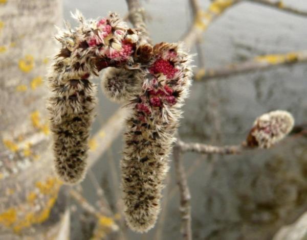 fleurs de tremble - aspen