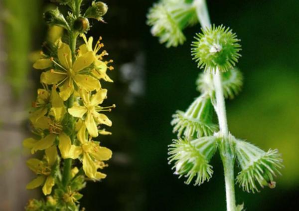 fleurs d'aigremoine - agrimony