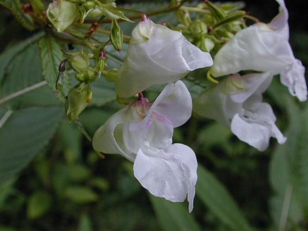 fleurs balsamine impatien