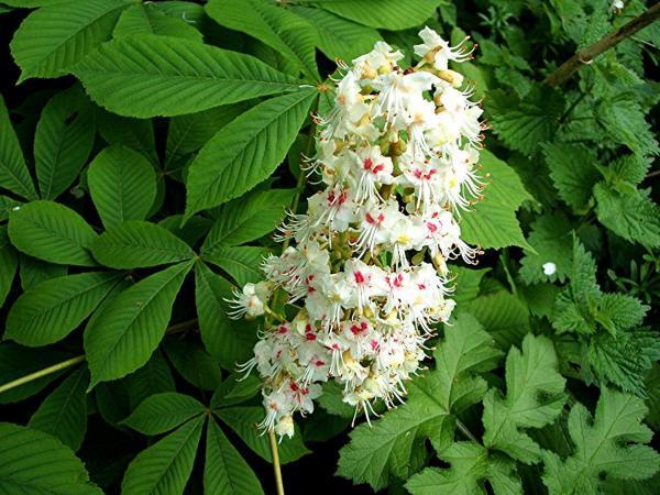 fleurs de marronnier blanc - white chestnut