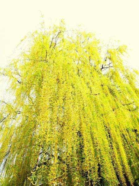 fleurs de saule - willow