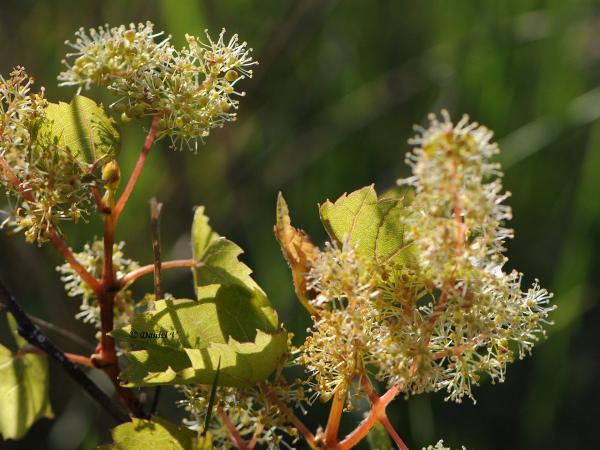 fleurs de vigne - vine