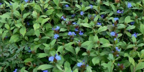fleurs de plumbago - cerato