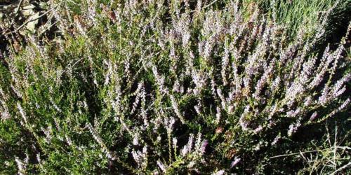 fleurs de bruyère - heather