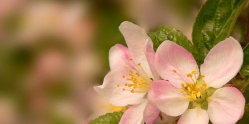 fleurs de pommier - crab apple
