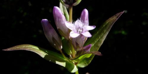 fleurs de gentiane - gentian