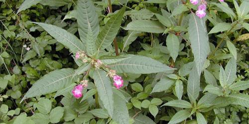 fleurs balsamine - impatien