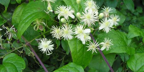fleurs de clématite - clématis
