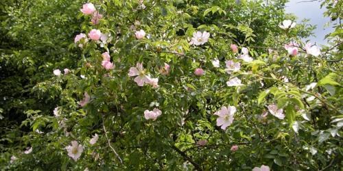 fleurs d'églantier - wild rose