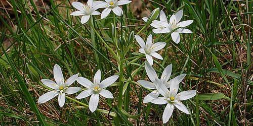 fleurs étoile de bethleem