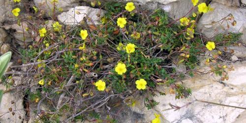 fleurs d'hélainthème - rock rose