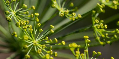 fleurs en graines