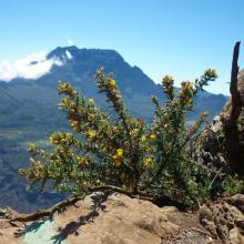 fleurs d'ajonc - gorse