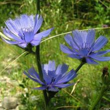 fleurs de chicorée
