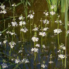 fleurs hottonie des marais - water violette