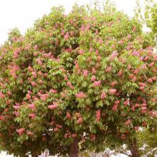 fleur de marronnier - red chestnut