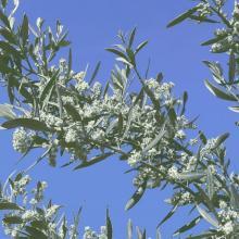 fleurs d'olivier - olive