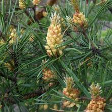 fleur du pin sylvestre - pine